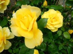Yellow Roses 2013